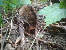 Полевая мышь (Apodemus agrarius) с биркой в правом ухе