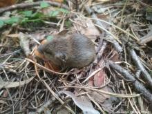 Малая лесная мышь (Sylvaemus uralensis) с биркой в левом ухе