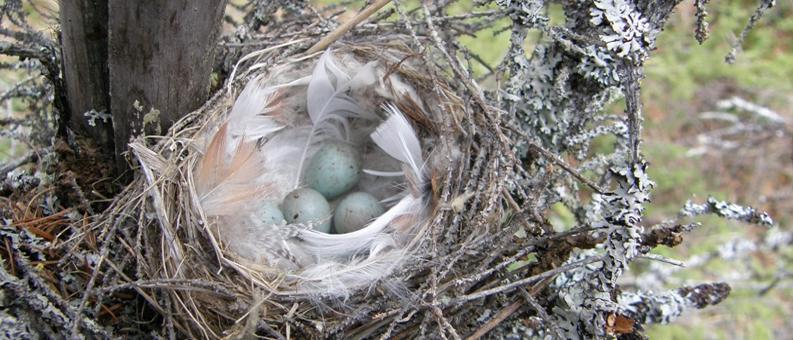 Весна. Гнездо чечетки