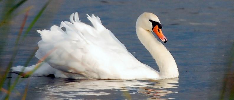 Полевой сезон 2017. Лебедь-шипун
