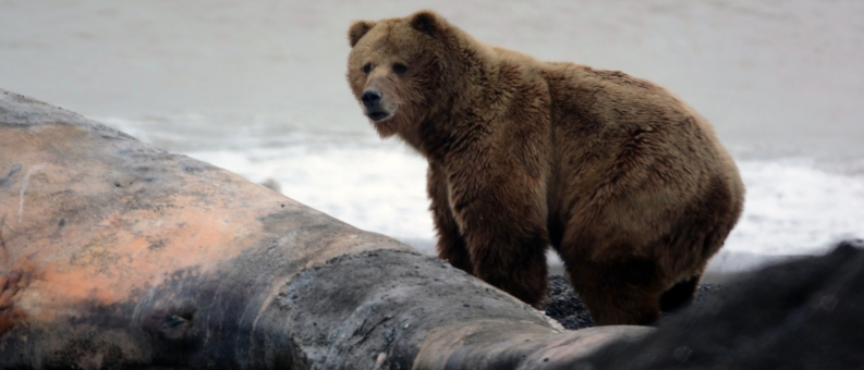 Полевой сезон 2017. Медведь над тушей кита.